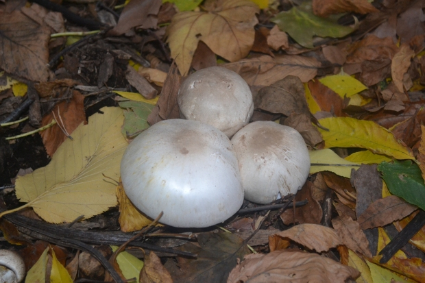 A cluster of meadow mushrooms. These were growing in a shady location as well, somewhat unusual for this and the many closely related species. The edible Agaricus mushrooms species are all very closely related and may very well be complexes of many more closely related species rather than single various species themselves.