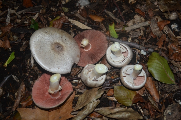 Another collection of text-book-worthy A. campestris. These mushrooms were found growing under a shady grove of cherry birch (Betula lenta) with many other patches of the same species mixed with populations of yellow-stainer (A. xanthodermus) mushrooms.