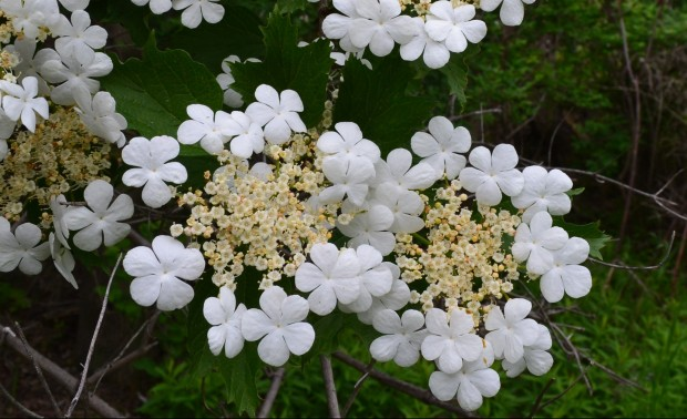 highbush cranberry flowers 2