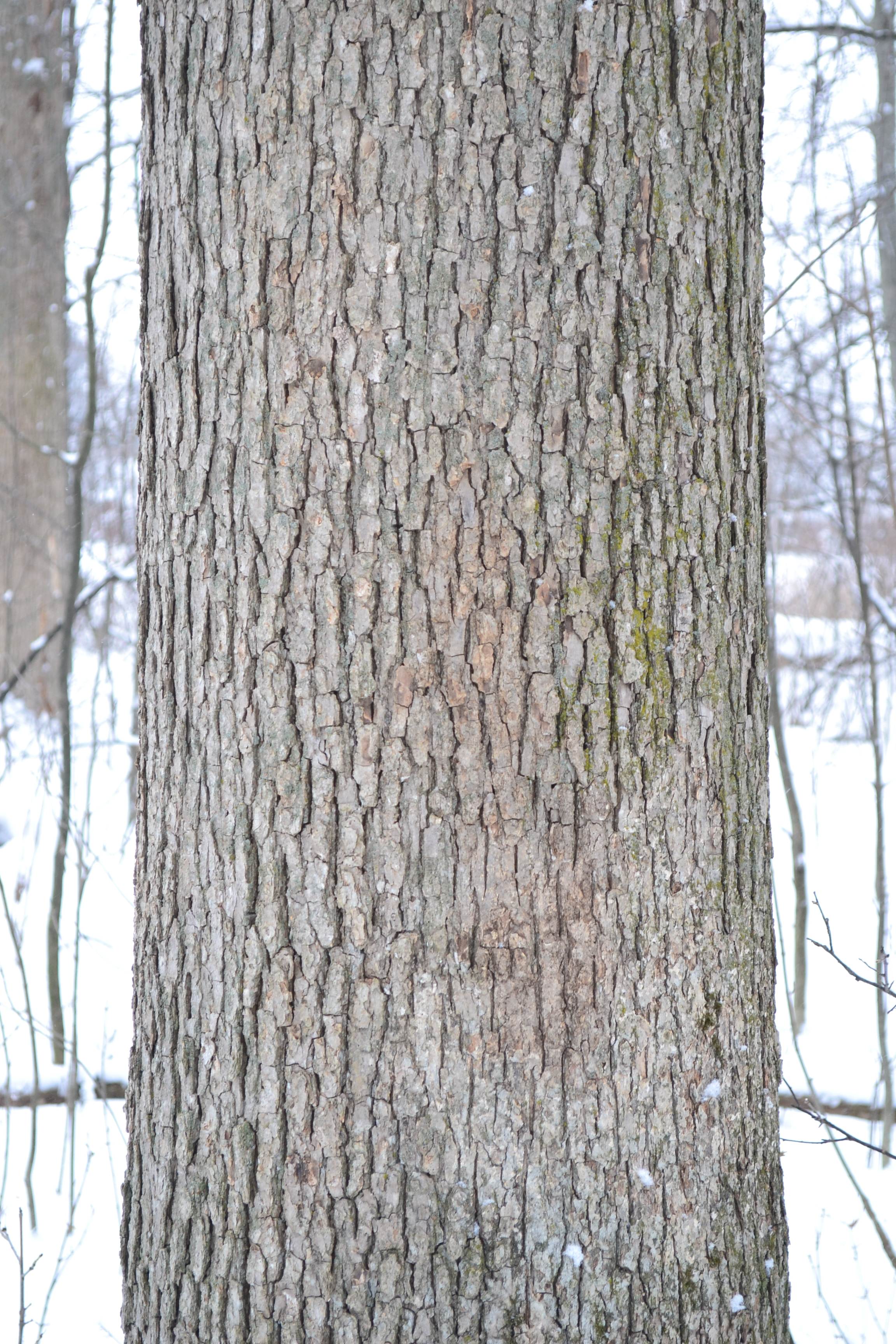Identifying Trees In Winter | Barefoot Foods Different Types Of Tree Bark